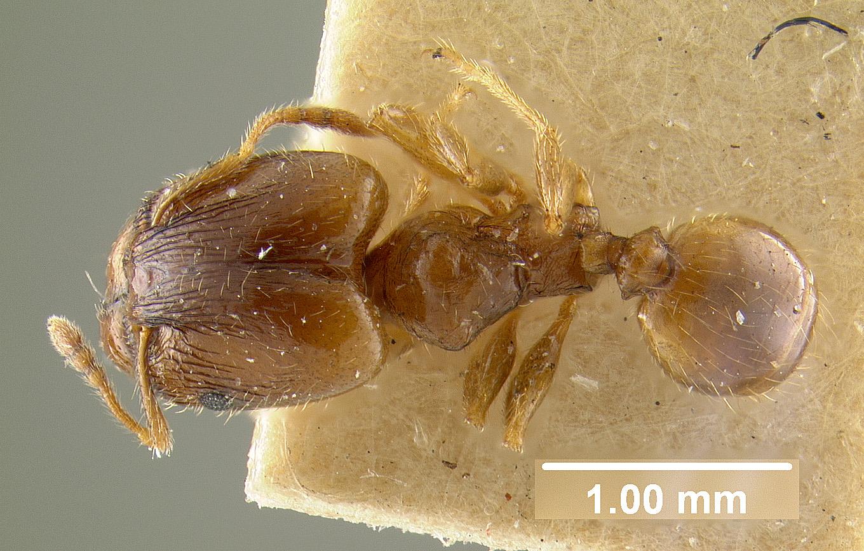 Image of Pheidole chalca