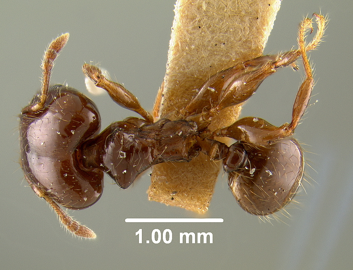 Image of Pheidole wheeleri