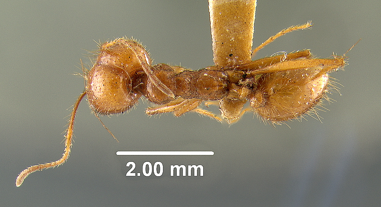 Image of Pheidole wallacei