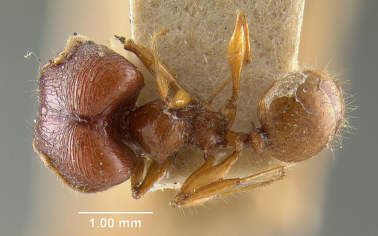 Image of Pheidole mendanai