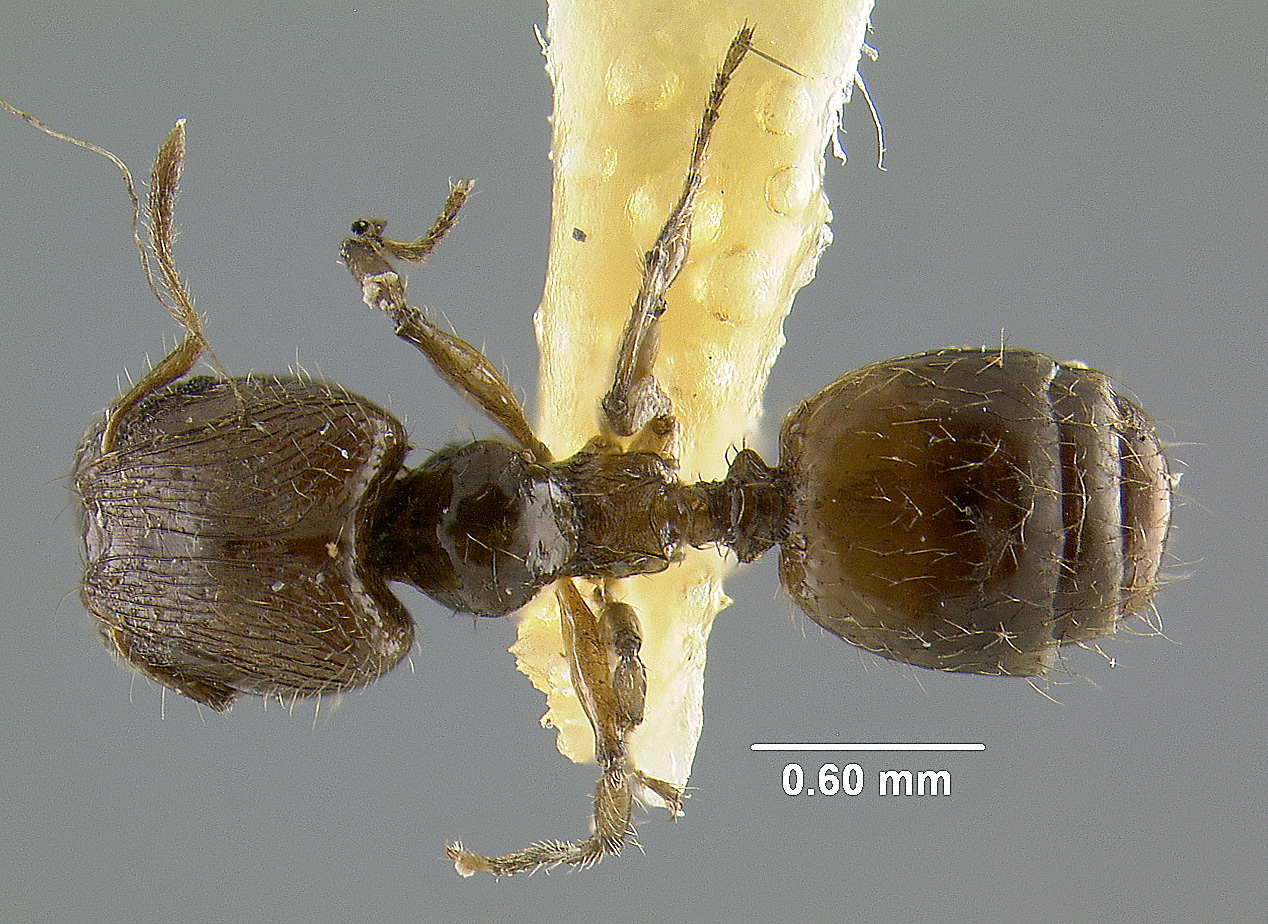 Image of Pheidole neolongiceps