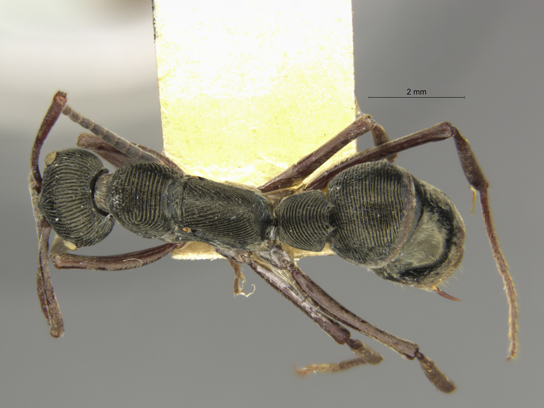 Image of Diacamma baguiense
