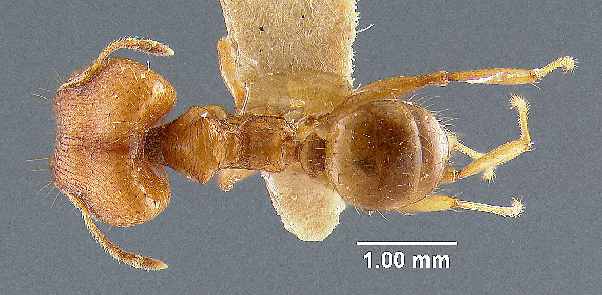 Image of Pheidole lighti
