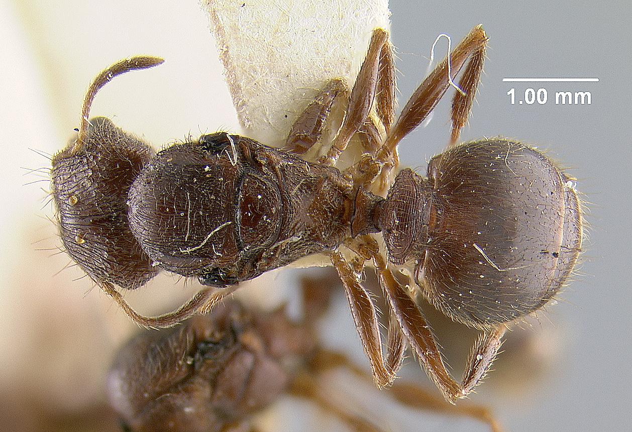 Image of Pheidole noda