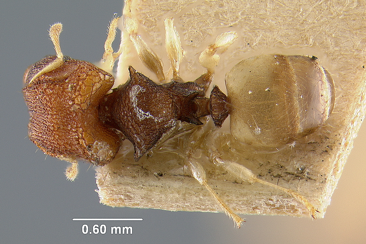 Image of Pheidole isis
