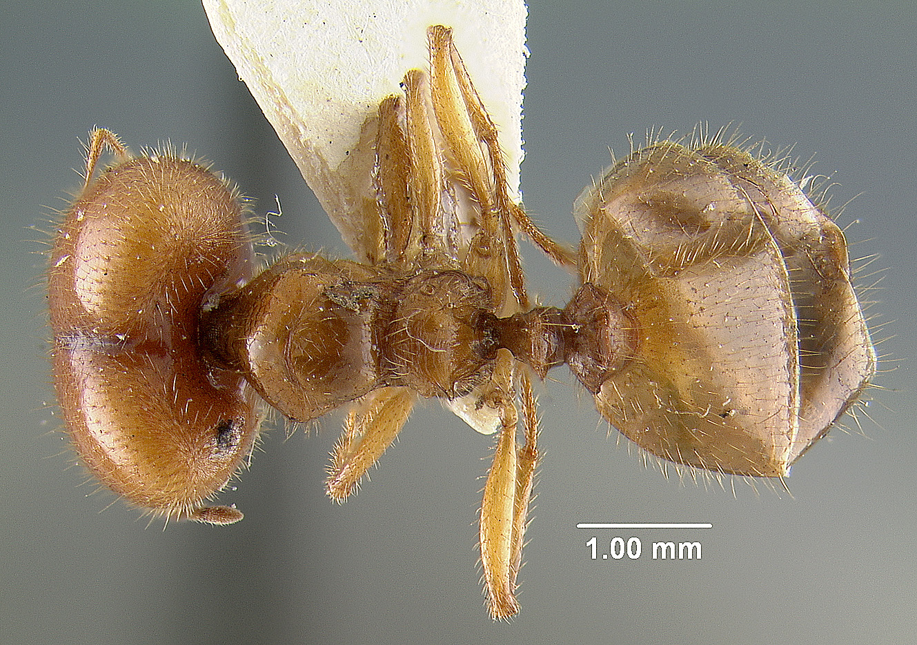Image of Pheidole militicida