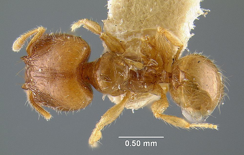 Image of Pheidole moseni