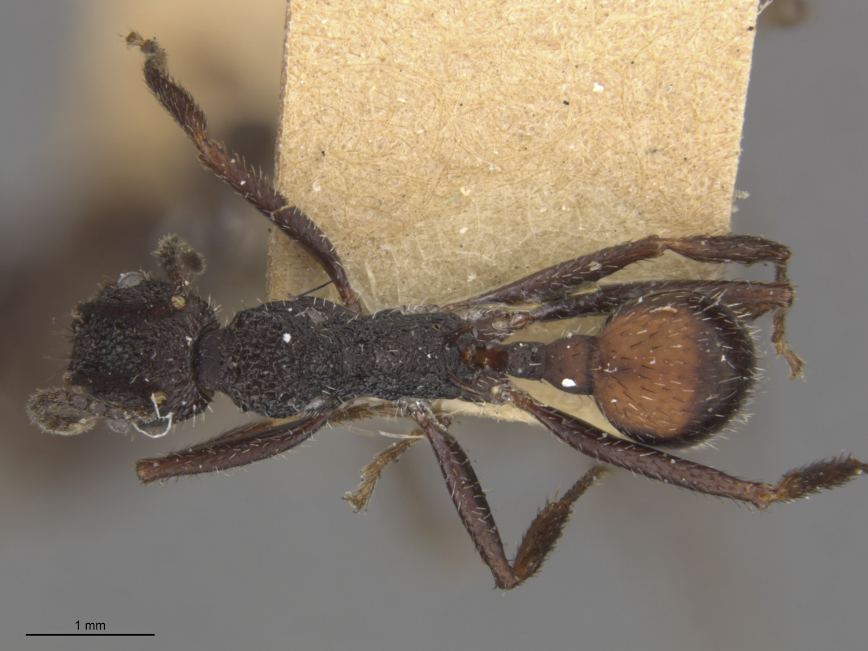 Image of Aphaenogaster relicta