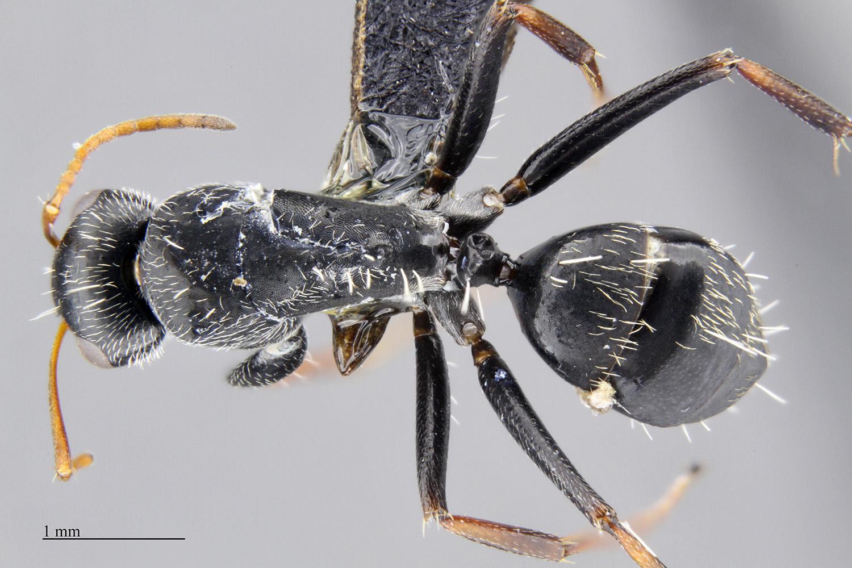 Image of Camponotus auropubens