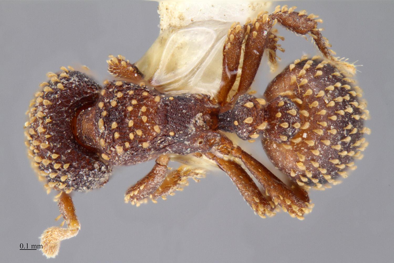 Image of Calyptomyrmex kaurus
