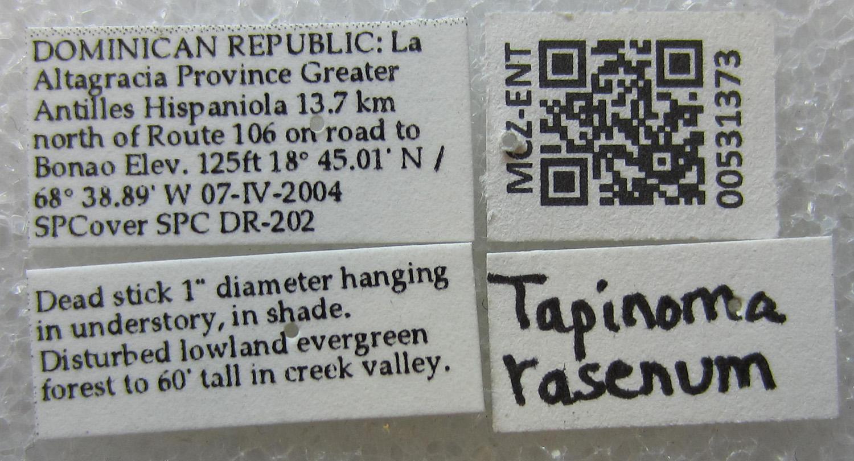 Image of Tapinoma rasenum