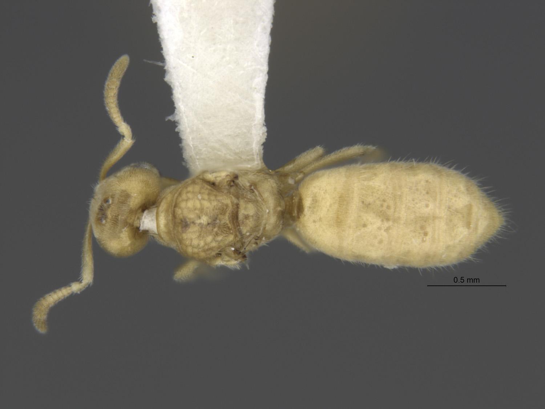 Image of Acropyga epedana