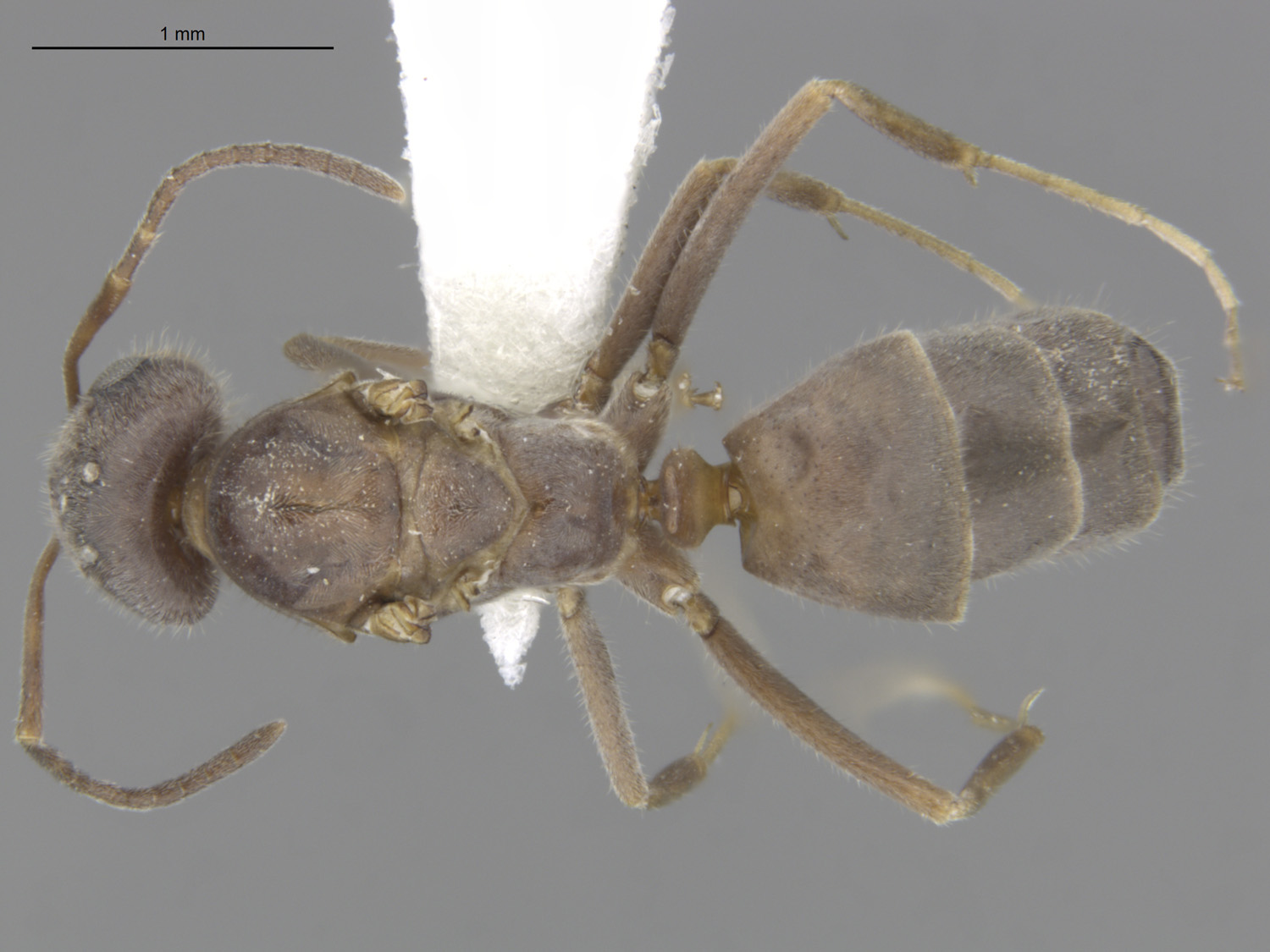 Media of type image, MCZ:Ent:588708 Identified as Dorymyrmex sp.. . Aspect: dorsal