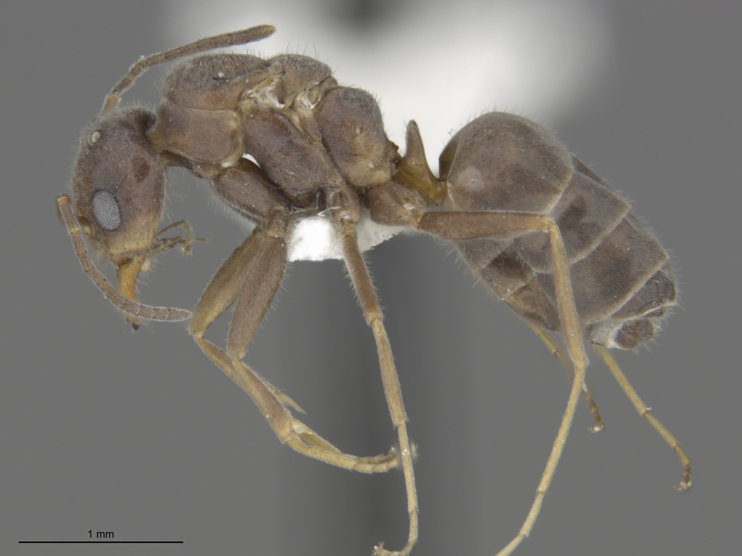 Media of type image, MCZ:Ent:588708 Identified as Dorymyrmex sp.. . Aspect: lateral