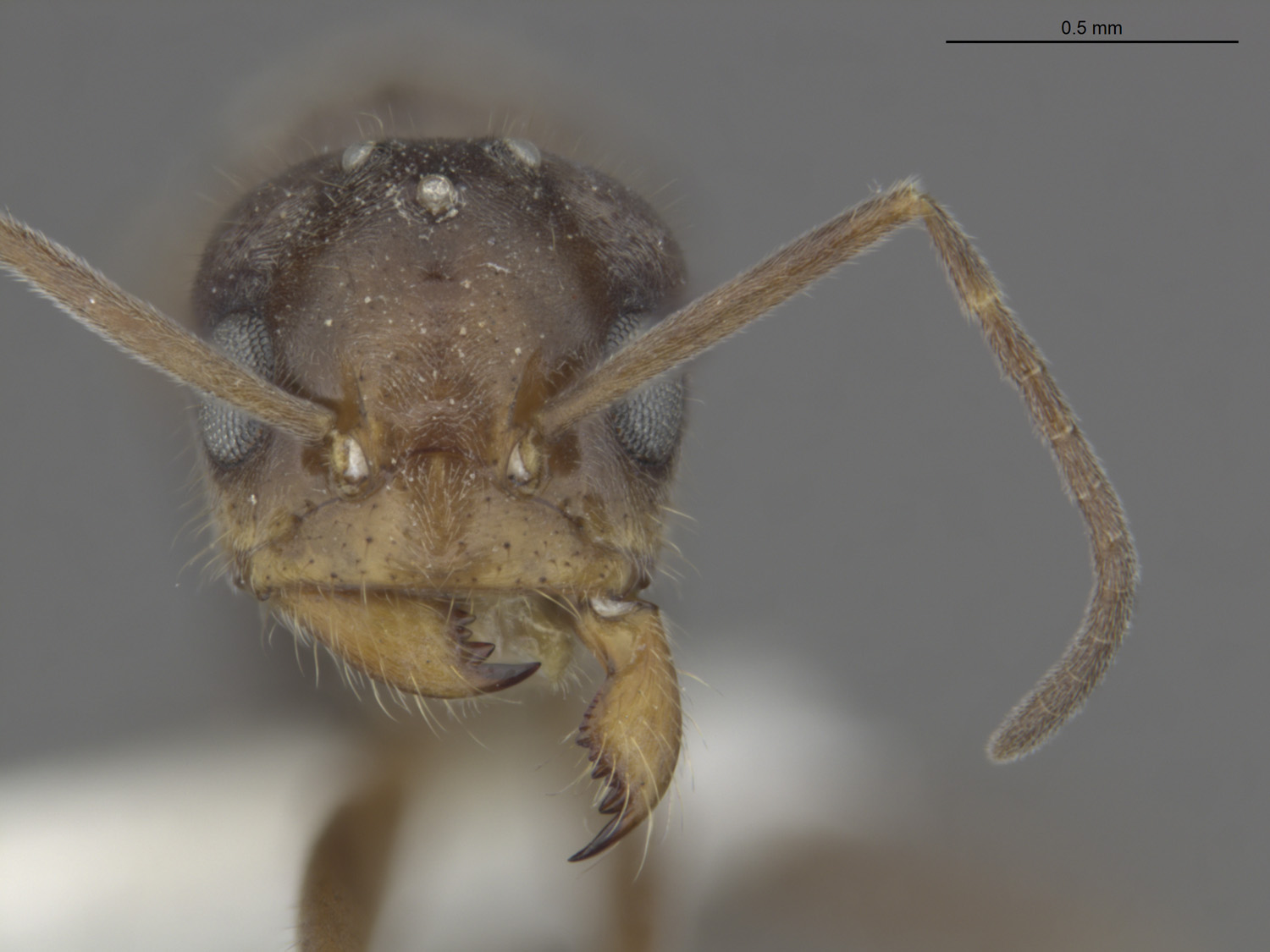 Media of type image, MCZ:Ent:588708 Identified as Dorymyrmex sp.. . Aspect: frontal