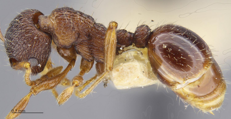 Media of type image, MCZ:Ent:674345 Identified as Myrmica tahoensis.