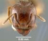 Media of type image, MCZ:Ent:9089 Identified as Pheidole wheeleri type status Syntype of Pheidole wheeleri.
