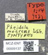 Media of type image, MCZ:Ent:9137 Identified as Pheidole moerens type status Syntype of Pheidole moerens.
