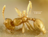 Media of type image, MCZ:Ent:20718 Identified as Pheidole marcidula type status Syntype of Pheidole marcidula.