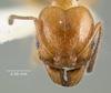 Media of type image, MCZ:Ent:20753 Identified as Pheidole peregrina type status Syntype of Pheidole peregrina.