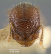 Media of type image, MCZ:Ent:20777 Identified as Pheidole mendicula type status Syntype of Pheidole mendicula.