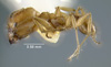 Media of type image, MCZ:Ent:22806 Identified as Pheidole meinerti type status Syntype of Pheidole mimula.