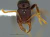 http://mczbase.mcz.harvard.edu/specimen_images/ent-formicidae/automontage/large/MCZ-ENT00035688_Gnamptogenys_falcaria_H.jpg