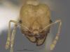 Media of type image, MCZ:Ent:301443 Identified as Pheidole noar type status Paratype of Pheidole noar| Figured of Pheidole noar. . Aspect: dorsal