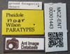 Media of type image, MCZ:Ent:301443 Identified as Pheidole noar type status Paratype of Pheidole noar| Figured of Pheidole noar. . Aspect: labels