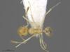 Media of type image, MCZ:Ent:301443 Identified as Pheidole noar type status Paratype of Pheidole noar| Figured of Pheidole noar. . Aspect: head