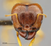Media of type image, MCZ:Ent:511967 Identified as Pheidole punctulata.