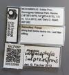 Media of type image, MCZ:Ent:512099 Identified as Pheidole impressifrons.