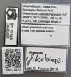 Media of type image, MCZ:Ent:512170 Identified as Pheidole katonae cf..