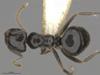 http://mczbase.mcz.harvard.edu/specimen_images/ent-formicidae/automontage/large/MCZ-ENT00516444_Technomyrmex_FHG02_had.jpg