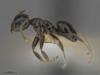 http://mczbase.mcz.harvard.edu/specimen_images/ent-formicidae/automontage/large/MCZ-ENT00516444_Technomyrmex_FHG02_hal.jpg