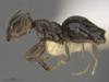 http://mczbase.mcz.harvard.edu/specimen_images/ent-formicidae/automontage/large/MCZ-ENT00516446_Technomyrmex_FHG02_hal.jpg