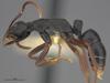 http://mczbase.mcz.harvard.edu/specimen_images/ent-formicidae/automontage/large/MCZ-ENT00526317_Leptogenys_maxillosa_hal.jpg