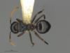 http://mczbase.mcz.harvard.edu/specimen_images/ent-formicidae/automontage/large/MCZ-ENT00526318_Camponotus_sp19_had.jpg