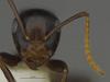 http://mczbase.mcz.harvard.edu/specimen_images/ent-formicidae/automontage/large/MCZ-ENT00526318_Camponotus_sp19_hef.jpg