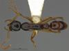 http://mczbase.mcz.harvard.edu/specimen_images/ent-formicidae/automontage/large/MCZ-ENT00529052_Leptogenys_sp5_had.jpg