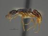 http://mczbase.mcz.harvard.edu/specimen_images/ent-formicidae/automontage/large/MCZ-ENT00529052_Leptogenys_sp5_hal.jpg