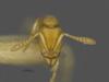 http://mczbase.mcz.harvard.edu/specimen_images/ent-formicidae/automontage/large/MCZ-ENT00529053_Hypoponera_sp4_hef.jpg