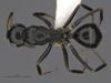 http://mczbase.mcz.harvard.edu/specimen_images/ent-formicidae/automontage/large/MCZ-ENT00529056_Camponotus_sp20_had.jpg