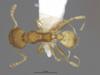 Media of type image, MCZ:Ent:551969 Identified as Pheidole floridana. . Aspect: dorsal