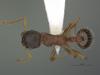 http://mczbase.mcz.harvard.edu/specimen_images/ent-formicidae/automontage/large/MCZ-ENT00560383_Myrmica_sp18_had.jpg