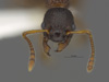 http://mczbase.mcz.harvard.edu/specimen_images/ent-formicidae/automontage/large/MCZ-ENT00560383_Myrmica_sp18_hef.jpg