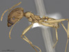 Media of type image, MCZ:Ent:572687 Identified as Pheidole vistana. . Aspect: lateral