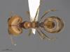 Media of type image, MCZ:Ent:583249 Identified as Pheidole psammophila. . Aspect: dorsal