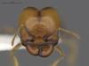 Media of type image, MCZ:Ent:583249 Identified as Pheidole psammophila. . Aspect: frontal