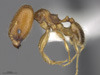 Media of type image, MCZ:Ent:587169 Identified as Pheidole tepicana. . Aspect: lateral